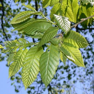 Chinese Chestnut Leaves