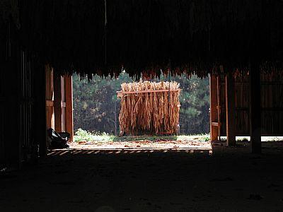 Tobacco drying in barn